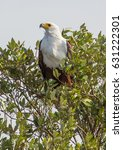 Small photo of African fish eagle on a tree at the ISimangaliso Wetland Park, South Africa