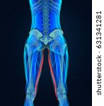 gracilis muscle. female muscle... | Shutterstock . vector #631341281