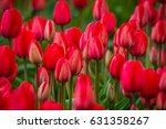 Rows Of Bright Tulips In A...
