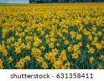 Field Of Beautiful Yellow...