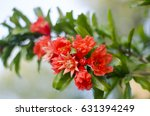 pomegranate blossoms. branch... | Shutterstock . vector #631394249