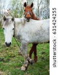 Small photo of Two hobble horses white and chestnut colored one are put out to grass feeding on the field.Domesticated farm animals.