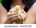 little ducklings | Shutterstock . vector #63145135