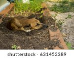Small photo of Mongrel dog thai brown color mouth black and blacken dig a hole to sleep in damaged vegetable plots soil litter fall apart to avoid hot weather by instinct.