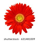 Red Gerbera Daisy. Isolated On...