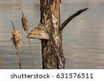 Nature Of Latvia. Piptoporus...