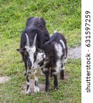black goat | Shutterstock . vector #631597259