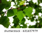 young birch leaves closeup | Shutterstock . vector #631657979