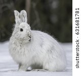 Small photo of Alaskan Hare or Tundra Hare