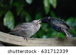 Starling Bird Feeding Its Young