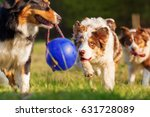 Stock photo picture of australian shepherd dogs running for a ball 631728089
