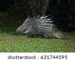malayan porcupine  himalayan... | Shutterstock . vector #631744595