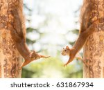 Close Up Of  Two Red Squirrel...