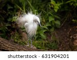 Small photo of The Little egret showing the filamentous feather plumage of the breeding season. Egrets live in wetlands and adept fishers.