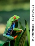 Small photo of Frog/Red-Eyed Amazon Tree Frog (Agalychnis Callidryas)