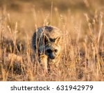 Small photo of An Aardwolf foraging at dusk in Southern African savanna