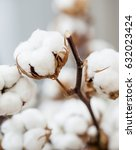 cotton dried flower close up  | Shutterstock . vector #632023424