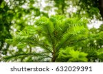 wollemi pine   wollemia nobilis ... | Shutterstock . vector #632029391