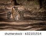 Tigress With Cubs. Tiger Mothe...