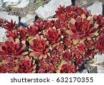 red sempervivum succulent... | Shutterstock . vector #632170355
