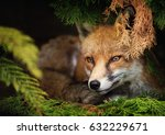 Red Fox Lying Under The Tree