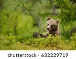 Brown Bear Cub Sticking Out Th...