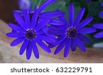 Blue Pericallis Flower