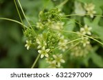small green flowers growing in... | Shutterstock . vector #632297009