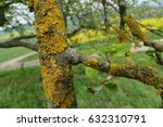 Small photo of Crustose Lichen, lat.: Caloplaca saxicola, growing on the dried branch of an old apple tree in district Northeim , Lower Saxony, Germany