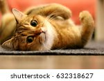 Stock photo relaxed cat looking at the camera golden shaded british short hair purebred male cat hazel green 632318627