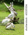 white pelicans colony | Shutterstock . vector #63235336
