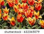 colorful tulips as background | Shutterstock . vector #632365079