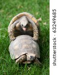 Yellow Footed Tortoise Mating