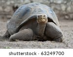 Stock photo galapagos giant tortoise is the largest living species of tortoise reaching weights of over 63249700