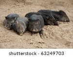 group of peccary  a medium... | Shutterstock . vector #63249703