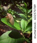 Small photo of Cicada slouch on the leaf