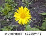 single doronicum orientale... | Shutterstock . vector #632609441