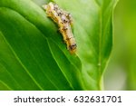 cotton bollworm on the leaves | Shutterstock . vector #632631701