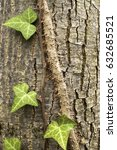 Small photo of Ivy climbing and affixed to tree stem bark with his aerial roots