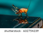 Small photo of Orange, black bush-crickets or katydids (Arthropoda: Insecta: Coleoptera: Dryophthoridae: Conocephalus melanus) crawl on a handphone screen isolated with soft background