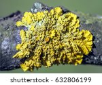 Small photo of Moss on a tree Crustose Lichen, lat.. Caloplaca saxicola, growing together with a species of tree moss.