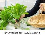 woman hands picking green...   Shutterstock . vector #632883545