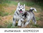 Stock photo cute siberian husky puppies playing on green grass 632932214