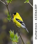 Small photo of Male American Goldfinch