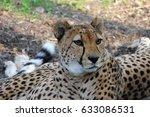 Small photo of Male Asiatic Cheetah (Acinonyx jubatus venaticus) resting on the ground