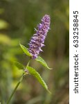 Small photo of Liatris pilosa â?? grass-leaf gayfeather, shaggy blazing star, genus of flowering plants in the boneset tribe within the sunflower family