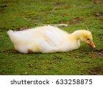 Domestic Geese  Anser Anser...