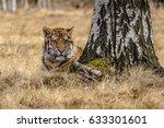 tiger  siberian tiger | Shutterstock . vector #633301601
