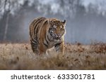 Tiger  Siberian Tiger Panthera...