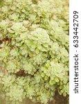 Small photo of Many aeonium green succulent plant soft focus